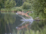 Mountain Lion or Cougar Jumping into the Water  in Captivity  Sandstone  Minnesota  USA