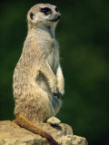 Meerkat on Look-Out  Marwell Zoo  Hampshire  England  United Kingdom  Europe