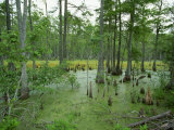 Atchofalaya Swamp in the Heart of Cajun Country  Near Gibson  Louisiana  USA