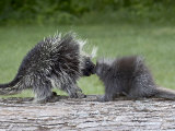 Porcupine Mother and Baby  in Captivity  Sandstone  Minnesota  USA