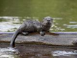 Captive Baby River Otter  Sandstone  Minnesota  USA