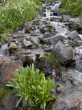 Parry&#39;s Primrose Growing in a Stream  American Basin  Uncompahgre National Forest  Colorado  USA