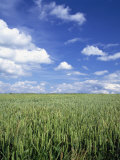 Wheat Field and Blue Sky with White Clouds in England  United Kingdom  Europe