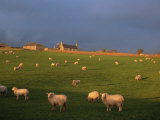 Flock of Sheep and Farmouse in Scottish Countryside  Scotland  United Kingdom  Europe