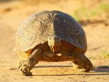 Leopard Tortoise  Addo Elephant National Park  South Africa  Africa