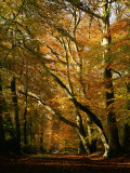Beech Trees in Autumn Foliage in a National Trust Wood at Ashridge  Buckinghamshire  England  UK