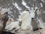 Mountain Goat Nanny and Kid  Mount Evans  Colorado  USA