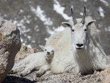 Mountain Goat Nanny and Kid  Mount Evans  Colorado  USA