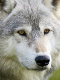 Gray Wolf in Captivity  Sandstone  Minnesota  United States of America  North America
