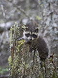 Captive Baby Raccoon in an Old Stump  Bozeman  Montana  USA