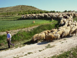 Shepherd and His Flock  Near Itero De La Vega  Palencia  Castilla Y Leon  Spain  Europe