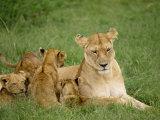 Lioness and Cubs  Masai Mara National Reserve  Kenya  East Africa  Africa
