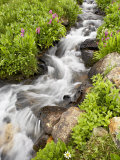 Stream Through Wildflowers  Mineral Basin  Uncompahgre National Forest  Colorado  USA