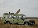Cheetah on Safari Vehicle  Masai Mara National Reserve  Kenya  East Africa