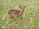 Whitetail Deer Fawn Among Oxeye Daisy  in Captivity  Sandstone  Minnesota  USA