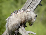 Opossum Mother and Babies  in Captivity  Sandstone  Minnesota  USA