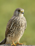 Female Common Kestrel  Serengeti National Park  Tanzania  East Africa  Africa