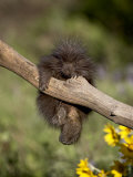 Captive Baby Porcupine  Animals of Montana  Bozeman  Montana  USA