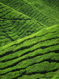 Rows of Tea Bushes at the Sungai Palas Estate in the Cameron Highlands in Perak Province  Malaysia
