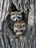 Two Baby Raccoon in a Tree  in Captivity  Sandstone  Minnesota  USA