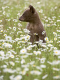 Black Bear Cub Among Oxeye Daisy  in Captivity  Sandstone  Minnesota  USA