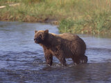 Grizzly Bear  Katmai  Alaska  United States of America  North America