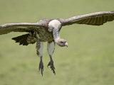 Ruppell's Griffon Vulture on Final Approach  Serengeti National Park  Tanzania  East Africa