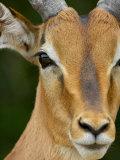 Male Impala  Kruger National Park  South Africa  Africa