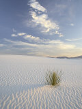 Yucca Growing in Rippled Sand  White Sands National Monument  New Mexico  USA
