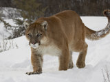 Mountain Lion or Cougar in Snow  Near Bozeman  Montana  USA