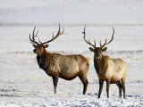 Two Bull Elk in the Snow  National Elk Refuge  Jackson  Wyoming  USA