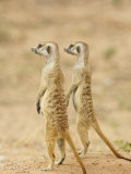 Two Meerkat or Suricate  Kgalagadi Transfrontier Park  South Africa