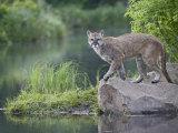 Mountain Lion or Cougar  in Captivity  Sandstone  Minnesota  USA