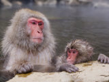 Japanese Macaque Baby Soaking in Hot Thermal Spring Pool  Joshin-Etsu National Park  Honshu  Japan