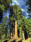 Giant Sequoia Trees  Mariposa Grove  Yosemite National Park  California  USA