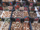 Bulbs for Sale in Bloemenmarkt Flower Market  Amsterdam  Netherlands  Europe