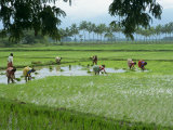 Workers in the Rice Fields Near Madurai  Tamil Nadu State  India