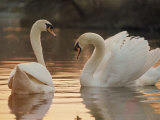 Two Swans on Water