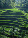 Rice Terraces  Bali  Indonesia  Southeast Asia