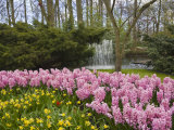 Pink Hyacinths and Daffodils  Keukenhof  Park and Gardens Near Amsterdam  Netherlands  Europe