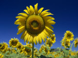 Close-Up of Sunflower in a Field of Flowers in Tuscany  Italy  Europe