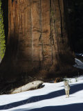 Coyote Dwarfed by a Tall Sequoia Tree Trunk in Sequoia National Park  California  USA