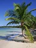 Palm Tree on Tropical Bavaro Beach  Dominican Republic  West Indies  Caribbean  Central America