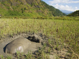 Water Buffalo in Mud Pool in Rice Field  Sagada Town  the Cordillera Mountains  Luzon  Philippines