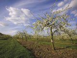 Blossom in the Apple Orchards in the Vale of Evesham  Worcestershire  England  United Kingdom
