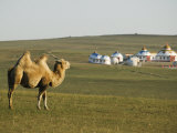 Camel with Nomad Yurt Tents in the Distance  Xilamuren Grasslands  Inner Mongolia Province  China