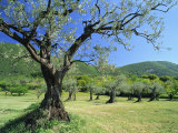 Olive Trees in a Grove in the Nyons District in the Drome Region of France  Europe