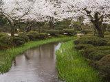 Cherry Blossom in Kenrokuen Garden  Kanazawa  Honshu Island  Japan
