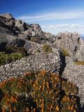 Mountain Flowers  Black Bluff  Tasmania  Australia  Pacific