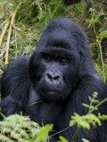 Mountain Gorilla Silverback  Kongo  Rwanda  Africa